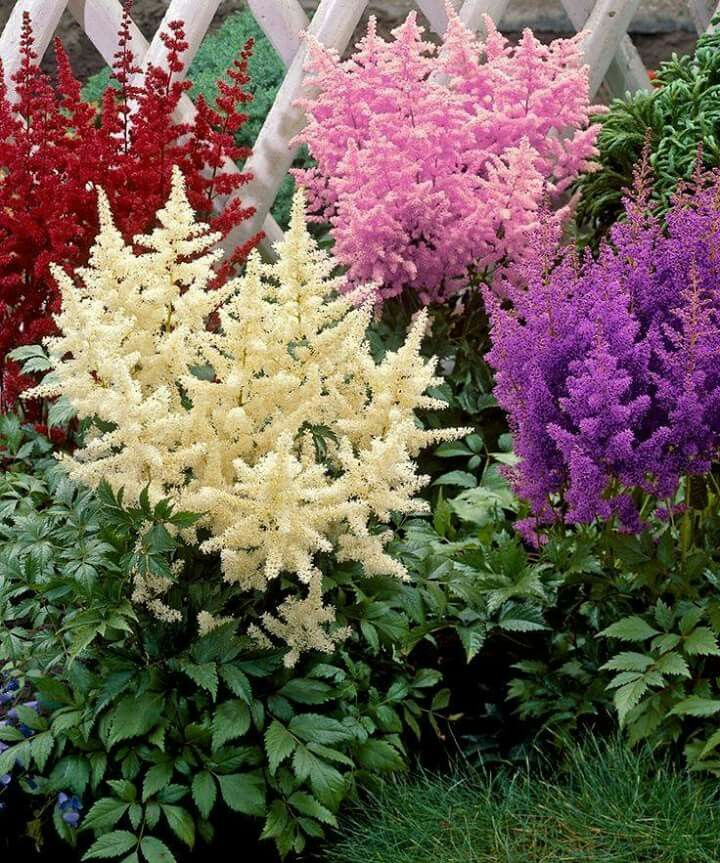 Astilbe Cicegi Flowers Astilbe Planting Bulbs