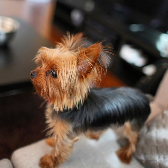 Yorkie Pups For Sale Dogs Puppies For Rehoming Thunder Bay Kijiji Puppies For Sale Yorkie Puppies
