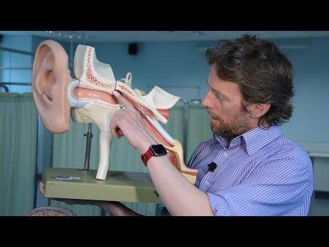 Middle ear (tympanic cavity) anatomy - YouTube in 2020 ...