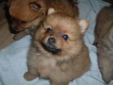 Pomeranian Sheepdog Photo Pomeranian Puppies For Sale 3 Months