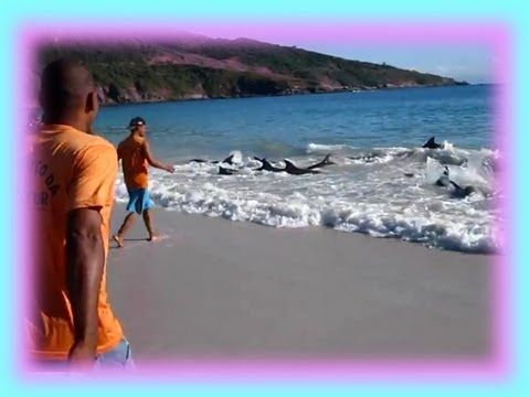 Incredible Dolphin Rescue - 30 Dolphins Stranded and Saved