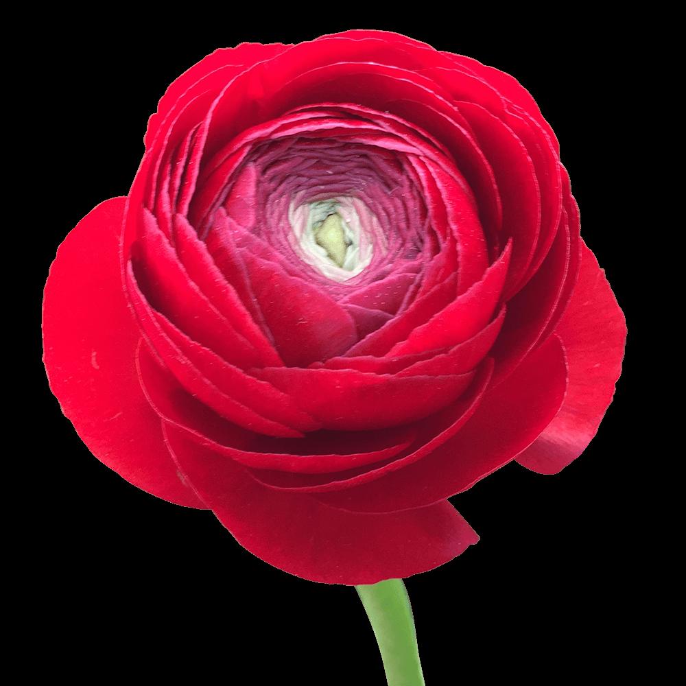 Buy Red Ranunculus Flowers Best Price In 2020 Ranunculus Flowers Ranunculus Arrangement Ranunculus Centerpiece