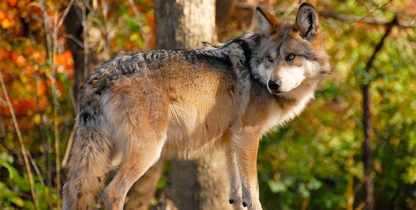 Lobo Gris Mexicano Especie En Vías De Extinción Debida A La Destrucción De Su Hábitat Y A La Caza Animales En Peligro De Extincion Lobo Gris Mexicano Animales