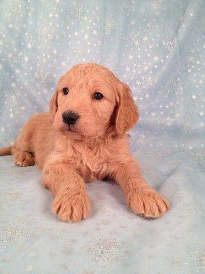Red Goldendoodle Goldendoodle Puppy For Sale Goldendoodle