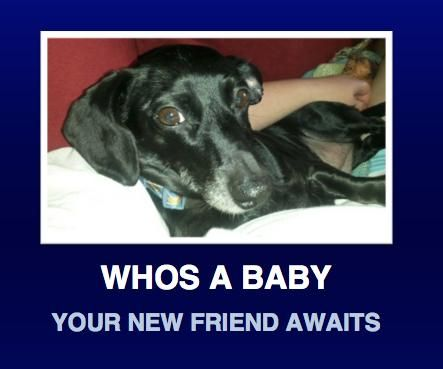 Adopt Mira on Dachshund, Dachshund adoption, Pets