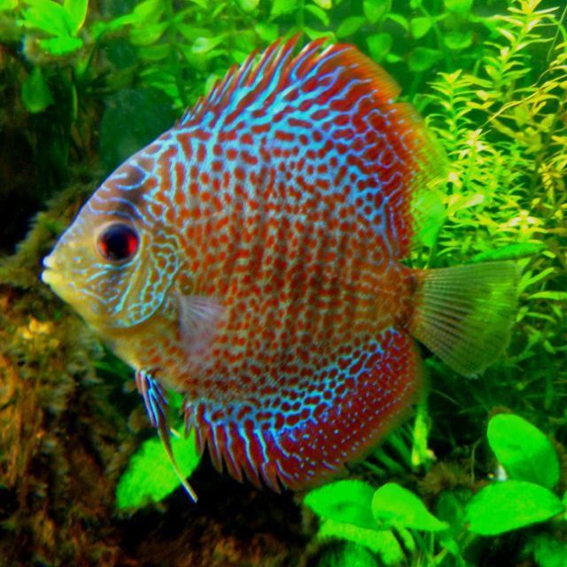25 Spectacular Animals That Start With The Letter D Discus Fish