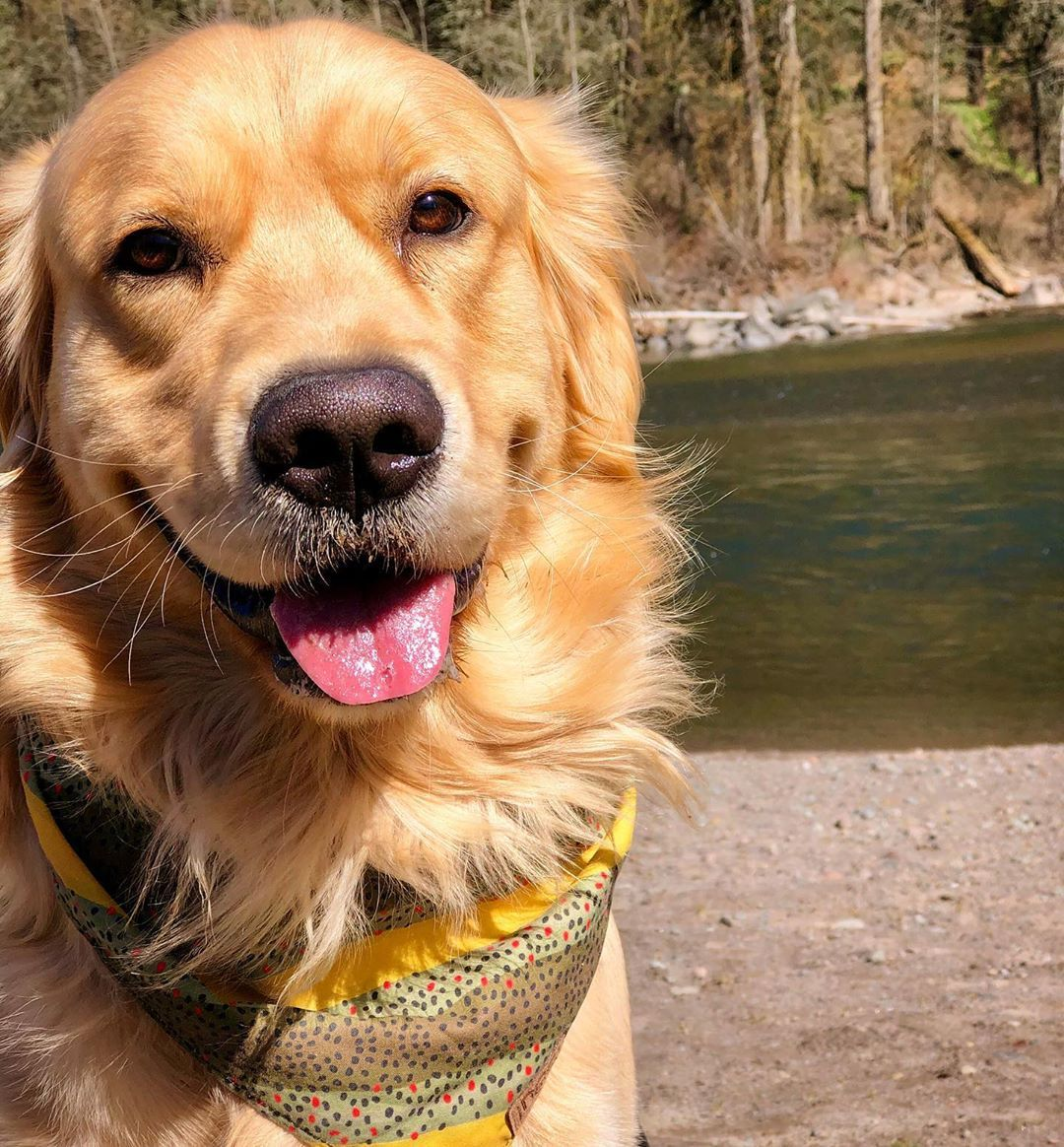 Lewis The Golden On Instagram No Such Thing As A Bad Day On The River Brown Tro Canine Companions Golden Dog Golden Retriever