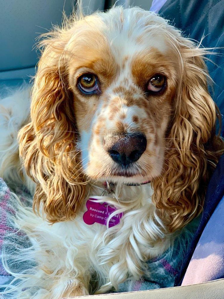 Luna Is A 3 Year Old Female Cocker Spaniel She Was Relinquished To The Apple Valley Animal Shelter After Being Hit By A Car Dog Adoption Cocker Spaniel Dogs