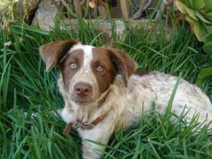 Adopt BELLA on Brittany spaniel dogs, Brittany spaniel
