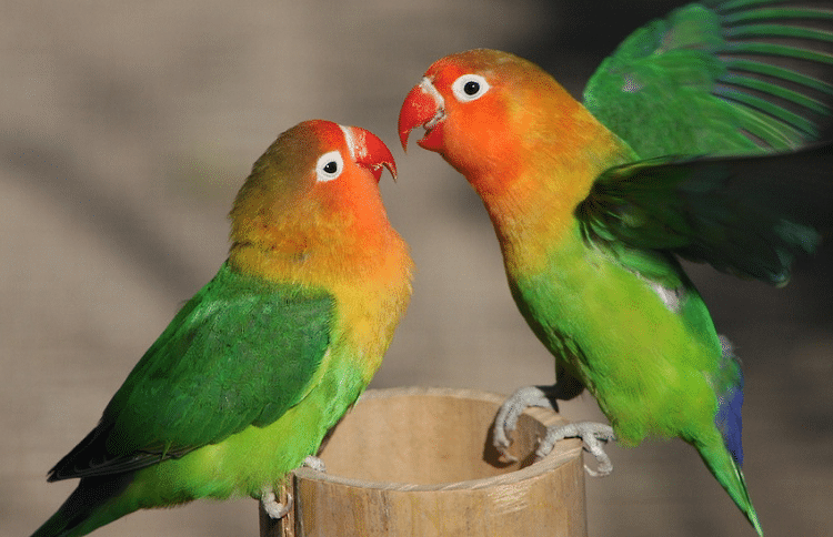 Mengetahui Penyebab Lovebird Jantan Takut Dengan Lovebird Betina Burung Gambar Burung Jalak