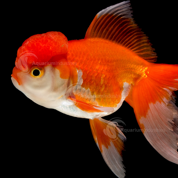 Oranda Goldfish Aquarium Industries Oranda Goldfish Goldfish Goldfish Aquarium