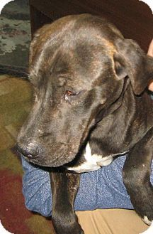 Johnson City Tn Plott Hound Meet Bella 67 A Dog For Adoption