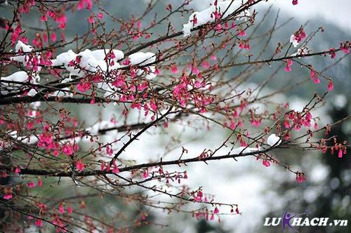 Hoa anh đào và tuyết ở Sapa