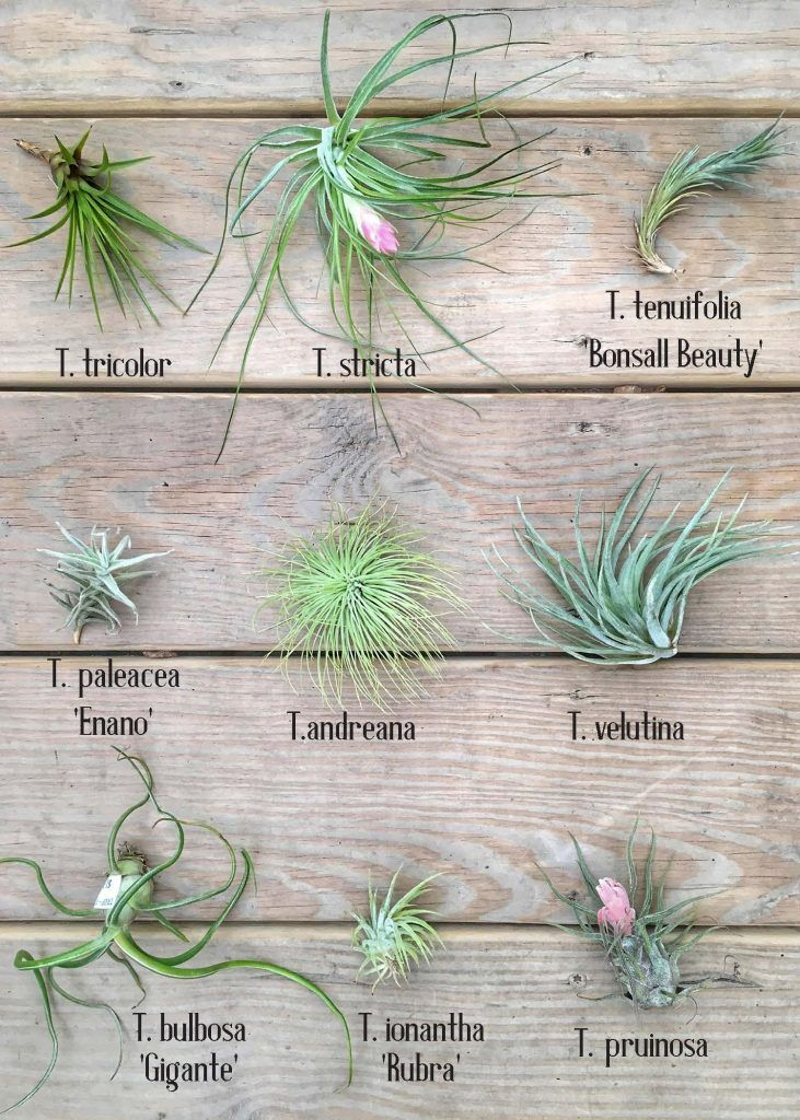 airplantcharta Air plant garden, Plants, Types of air