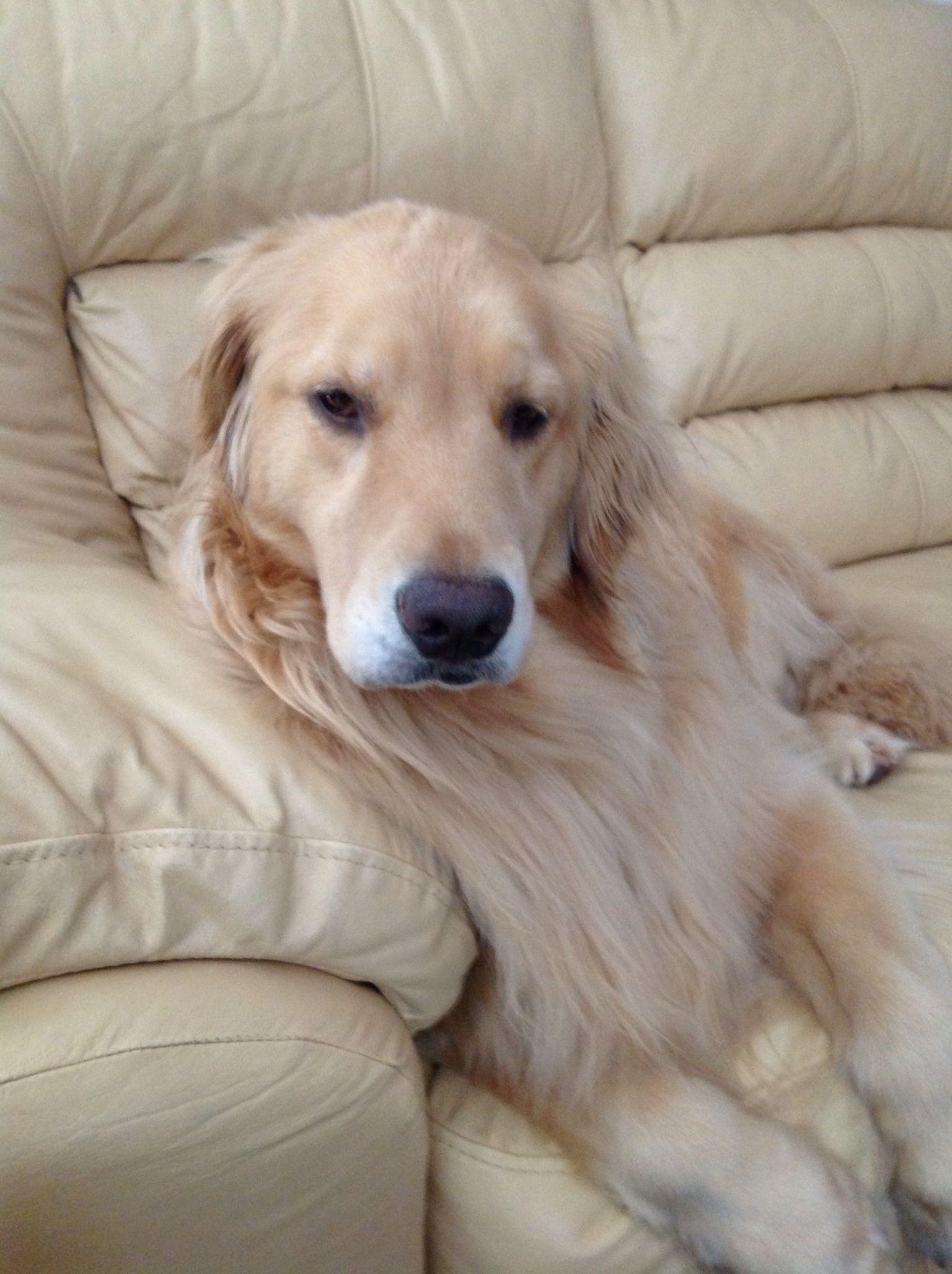I am such a princess! Dogs golden retriever, Guide dog, Dogs