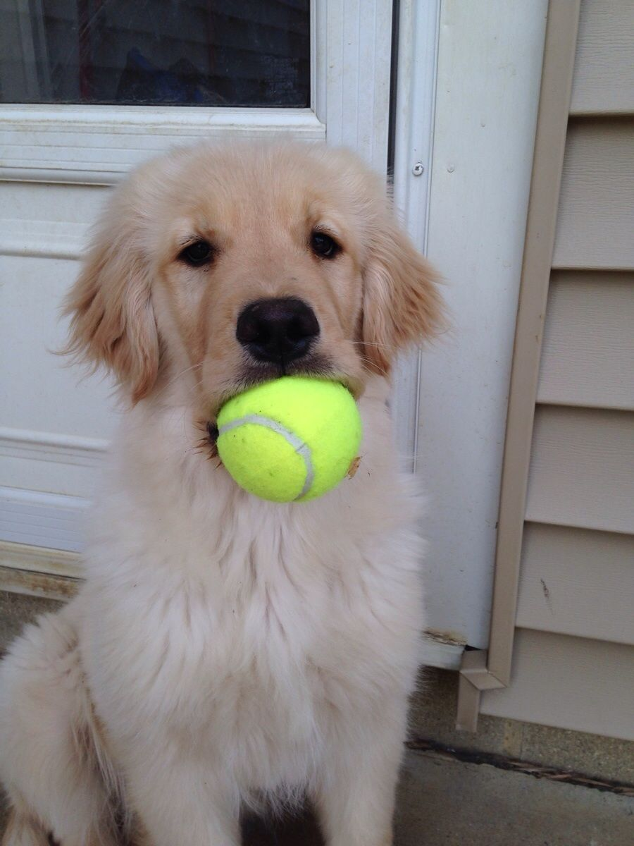 Golden Retriever Puppy Can We Play Catch Now Please