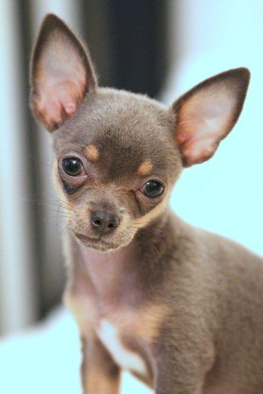 Brn Tan Short Haired Chihuahua Puppy Cute Chihuahua Chihuahua