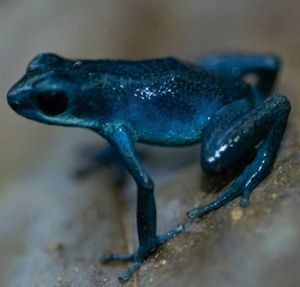 Poison frogs get toxicity from mites by mvaleria