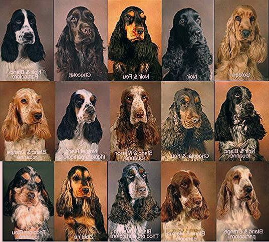 Puppies Cocker Spaniel Puppies Cocker Spaniel Dog Spaniel Breeds Cocker Spaniel Puppies