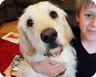 Los Angeles Ca Golden Retriever Irish Wolfhound Mix Meet Walton A Dog For Adoption Http Www Adoptapet Com Pet 17 Kitten Adoption Cute Dogs Dog Adoption