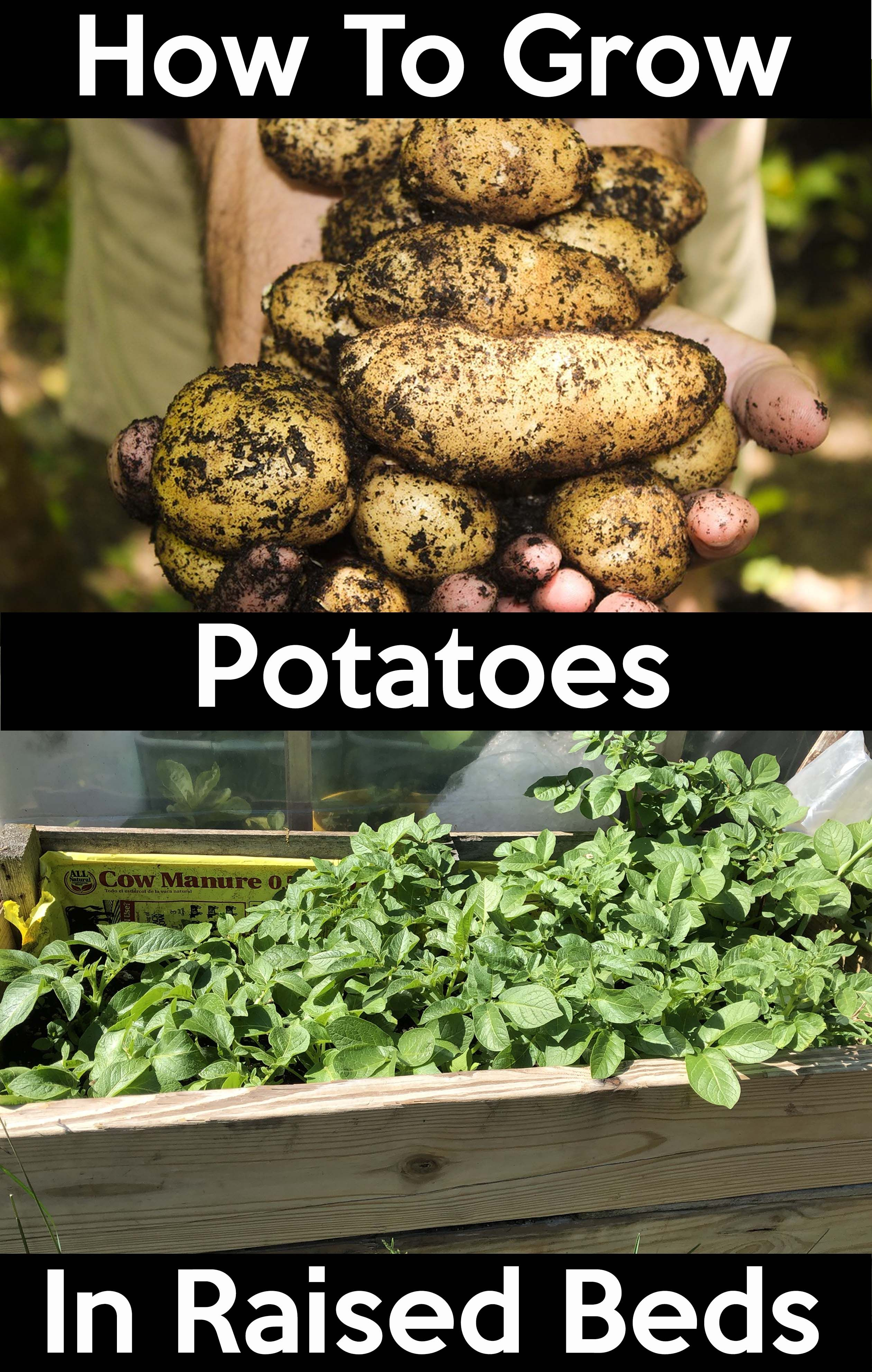 How To Grow Potatoes How To Grow Potatoes Easy Step By Step Guide