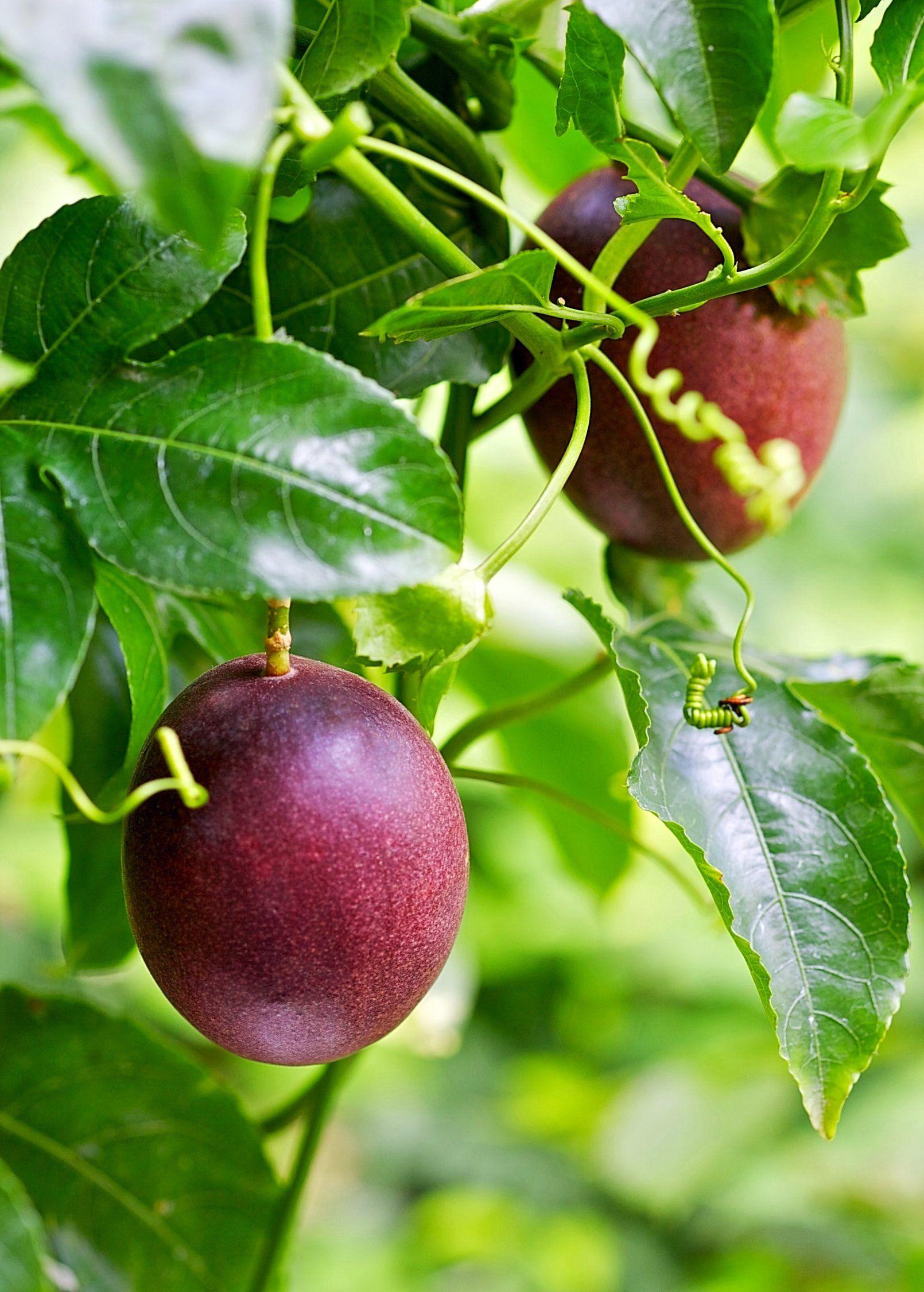 Passion Fruit Vine 'Purple Possum' (Passiflora edulis