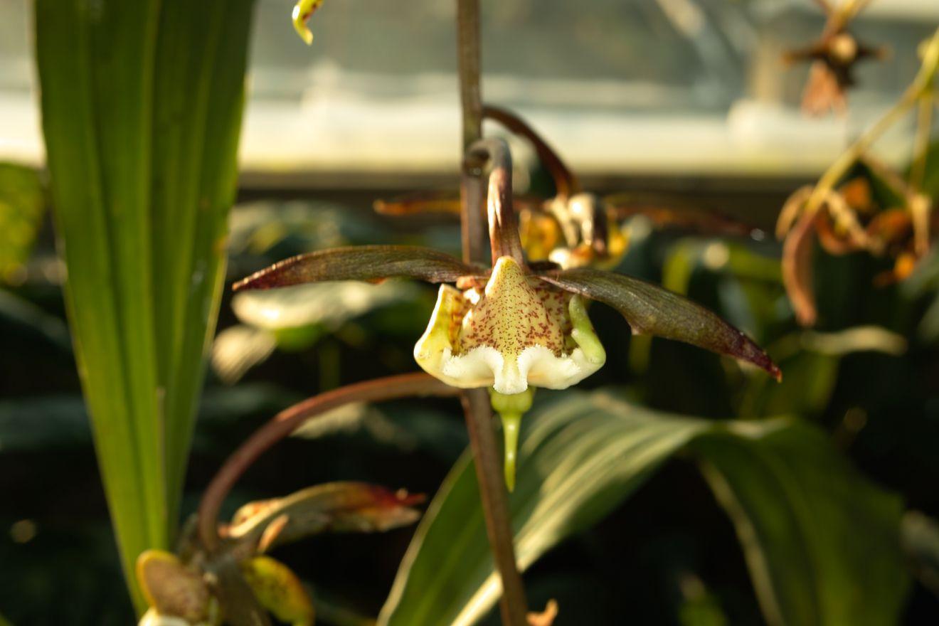 Catasetum gnomus orquideas pinterest orchid orchidaceae and seeds