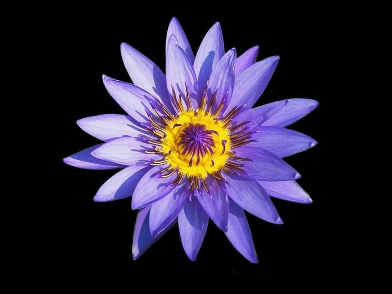 In Indian Culture The Lotus Flower Represents Enlightenment Wealth