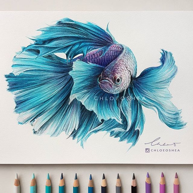 Betta Siamese Fighting Fish Drawing By Chloe O Shea Faber Castell Polychromos Pencils And Copic Markers On Canson Drawing Pap Purple Art Fish Drawings Fish Art