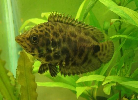 Leopard Gourami Spotted Climbing Perch Ctenopoma Acutirostre Aquarium Fish Aquarium Fish Tank Tropical Fish Aquarium