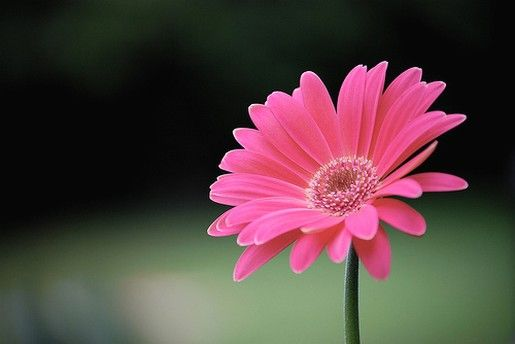 favorite favorite flowers! Pink gerber daisy! :) | These are a few ...