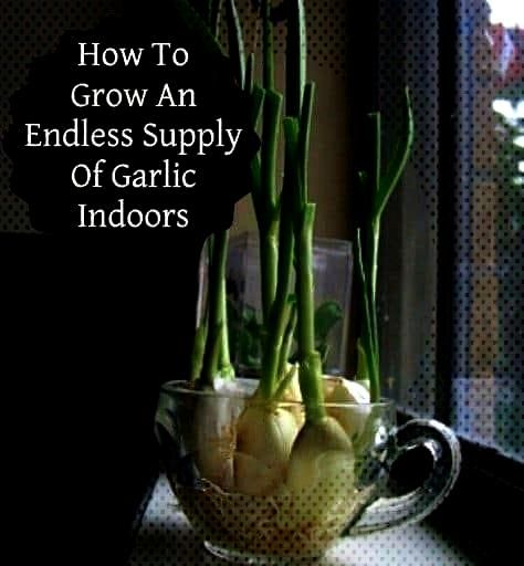 Grow Garlic Indoors!Endless Flavor Grow Garlic Indoors! Plants for Plant Killers 15 Vegetables A