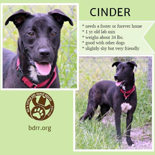 Foster Me Friday Cinder Needs To Find Her Fairy Tail Ending Cinder Came Very Close To Losing Her Life In A Rural Geo Big Dogs Dog Friends Dogs