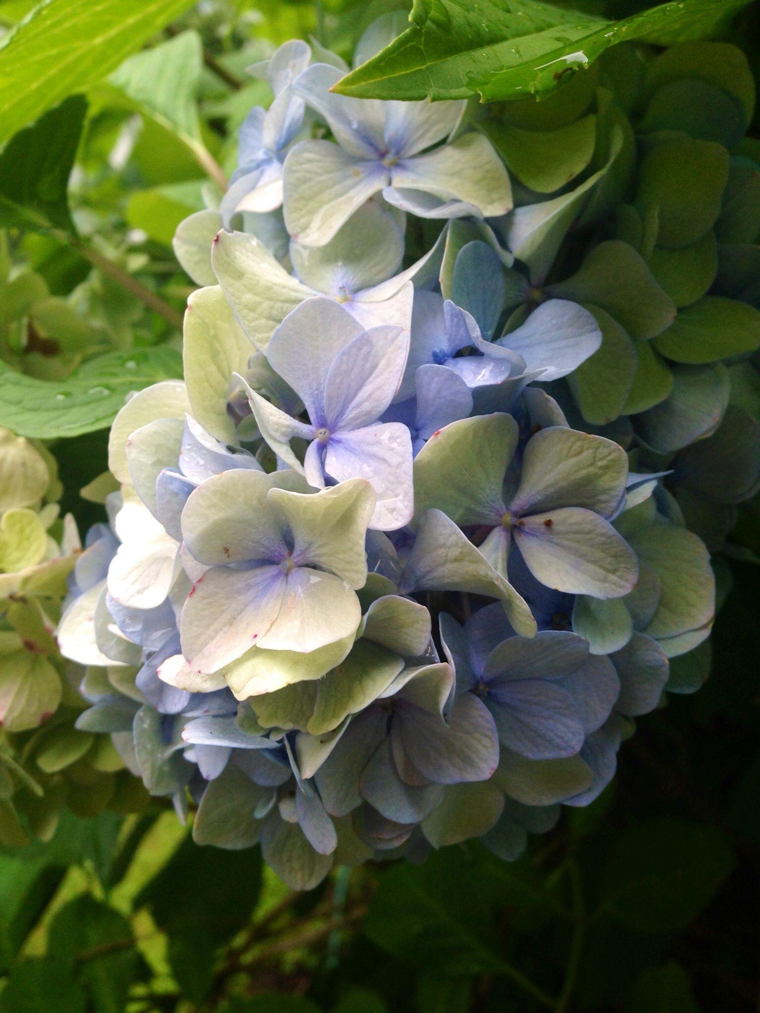 Summer Hydrangea. Photo by Jennie Nelson
