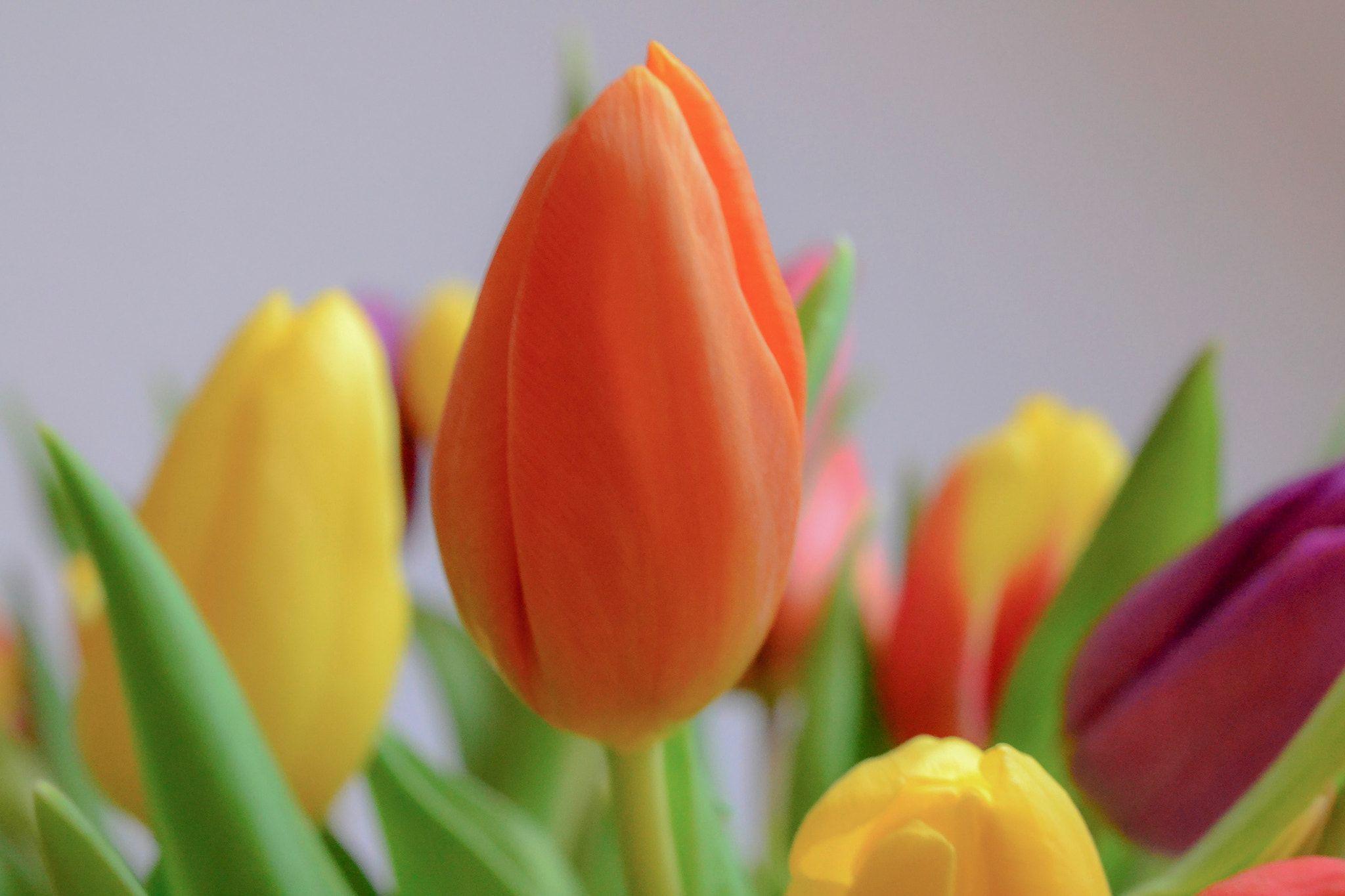 Tulip Time Sunday Tulips, Flowers, Plants