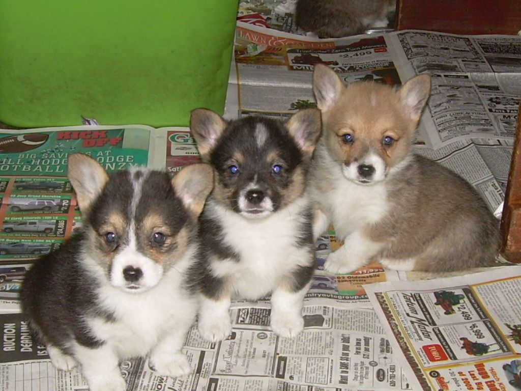 Cute Puppies And Dogs Pictures Cardigan Welsh Corgi Reviews And