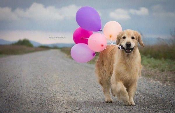 Golden Retriever Dog With Balloons Celebrating A Happy Birthday