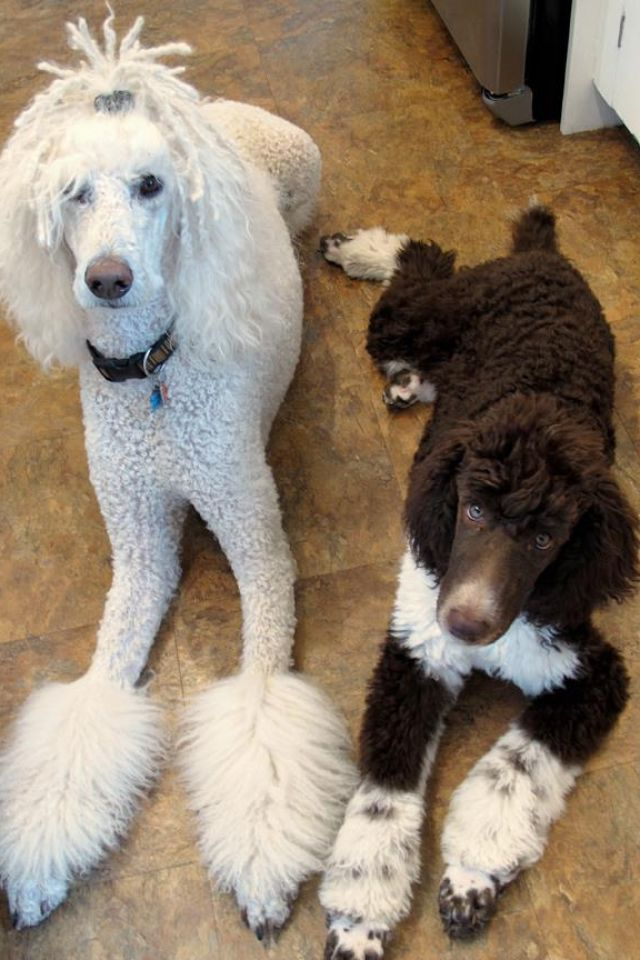 Moby and his younger brother, Bruno standard poodles