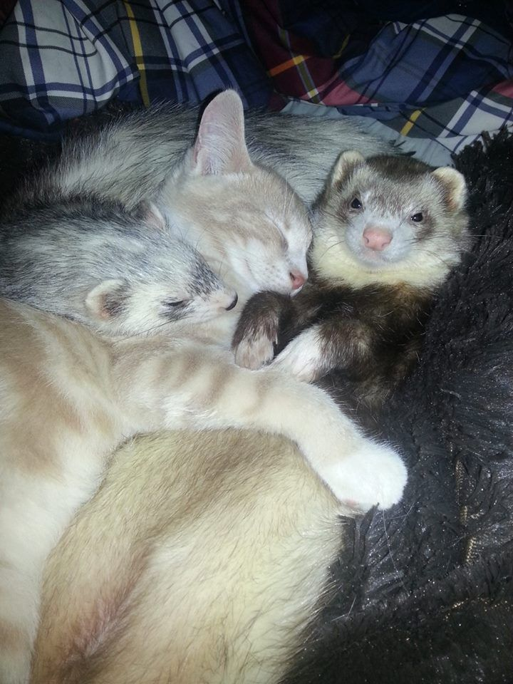 Best Buds Imgur Cute Ferrets Animal Hugs Animals Friendship