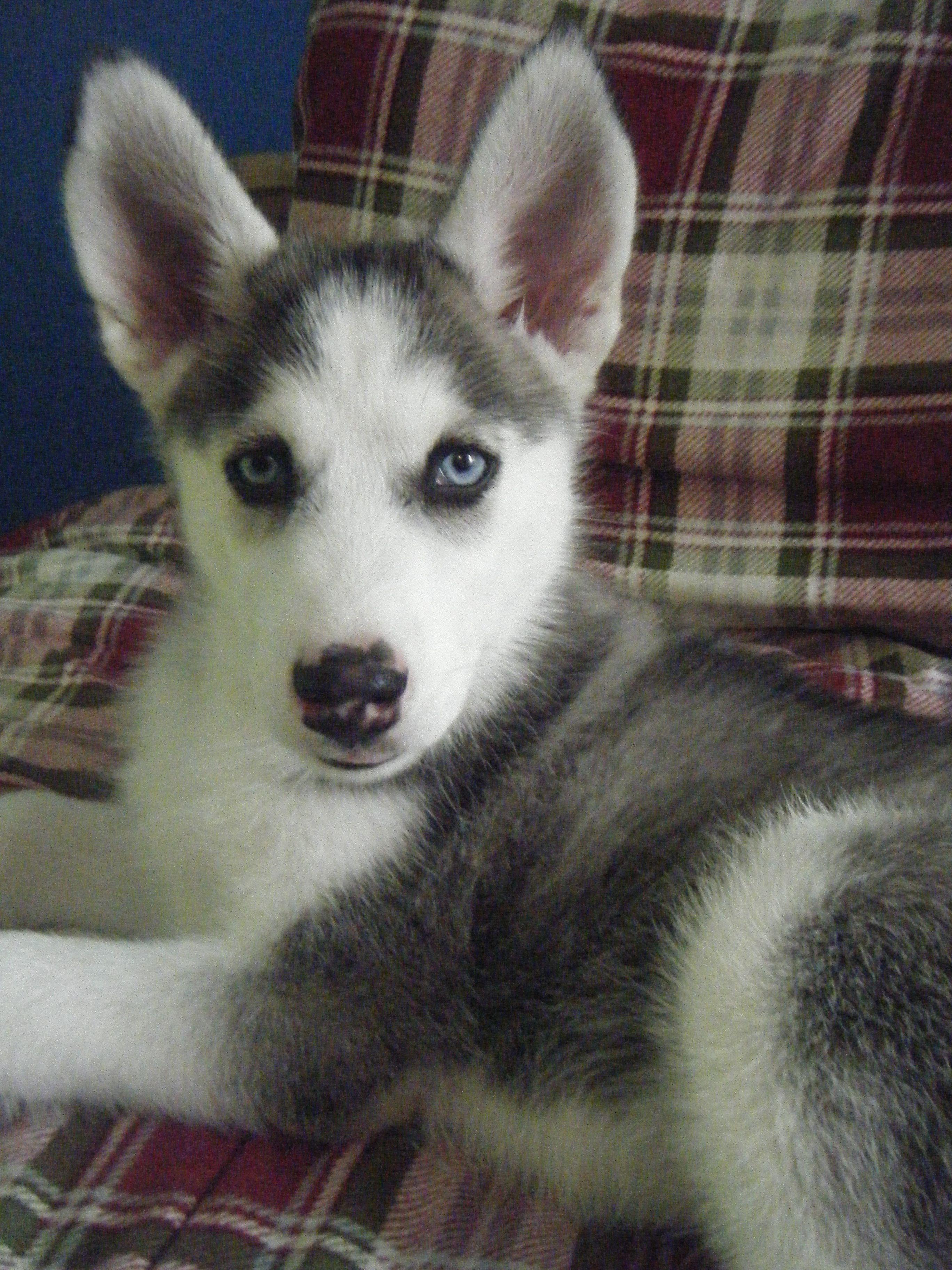 My siberian husky puppy <3
