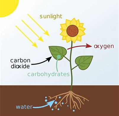 photosynthesis Bing images (With images