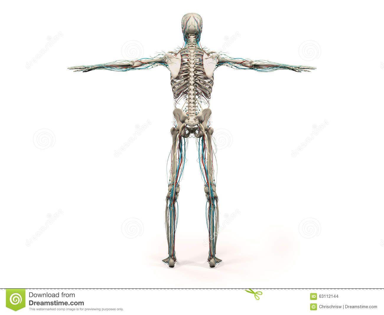 Full Body Anatomy Picture Human Anatomy Showing Back Full Body