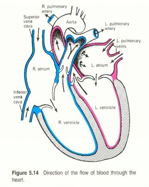 Simple Diagram Of The Heart | Heart diagram, Human heart ...