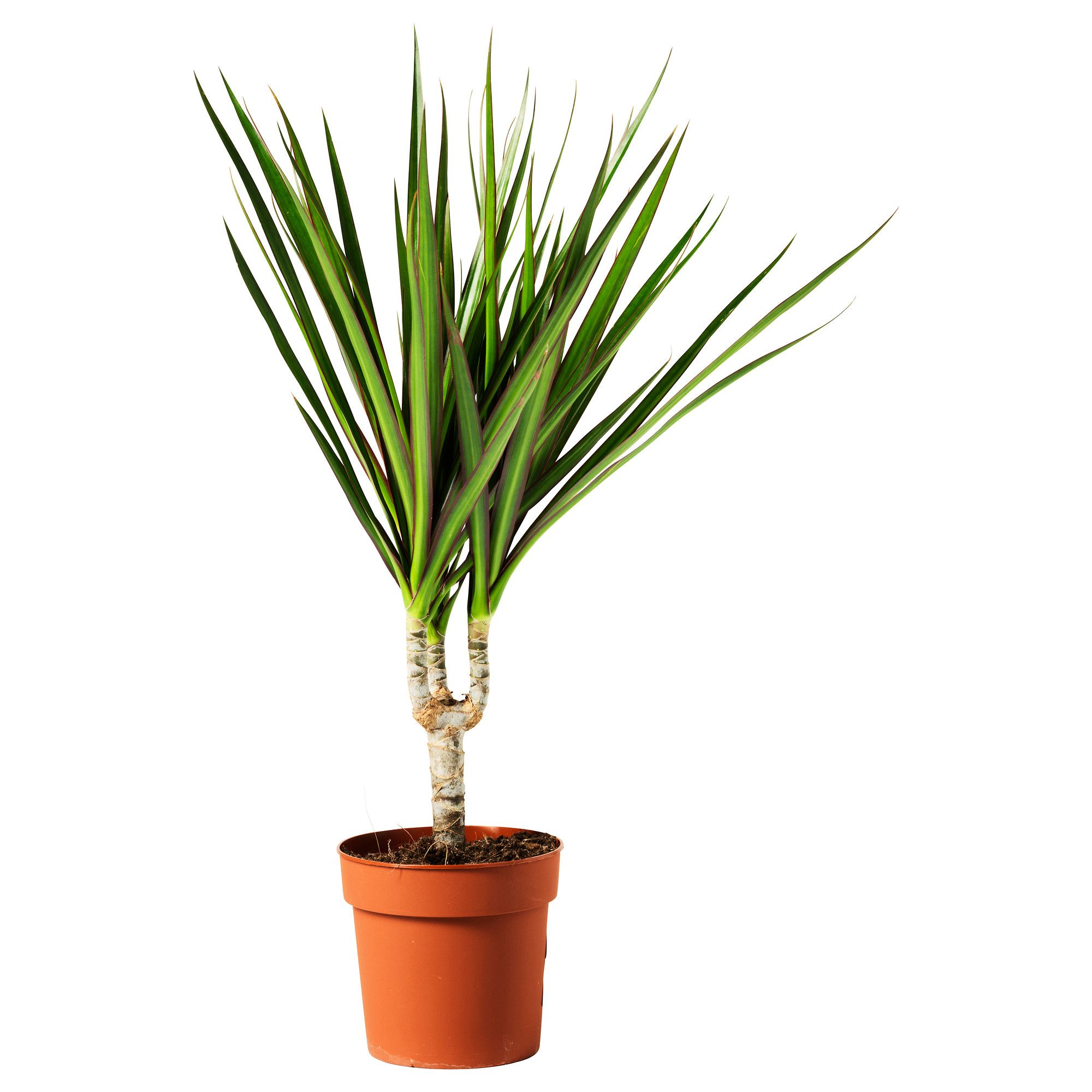 dracaena marginata plante en pot dragonnier de madagascar 1 tige plantes en pots pots et ikea. Black Bedroom Furniture Sets. Home Design Ideas