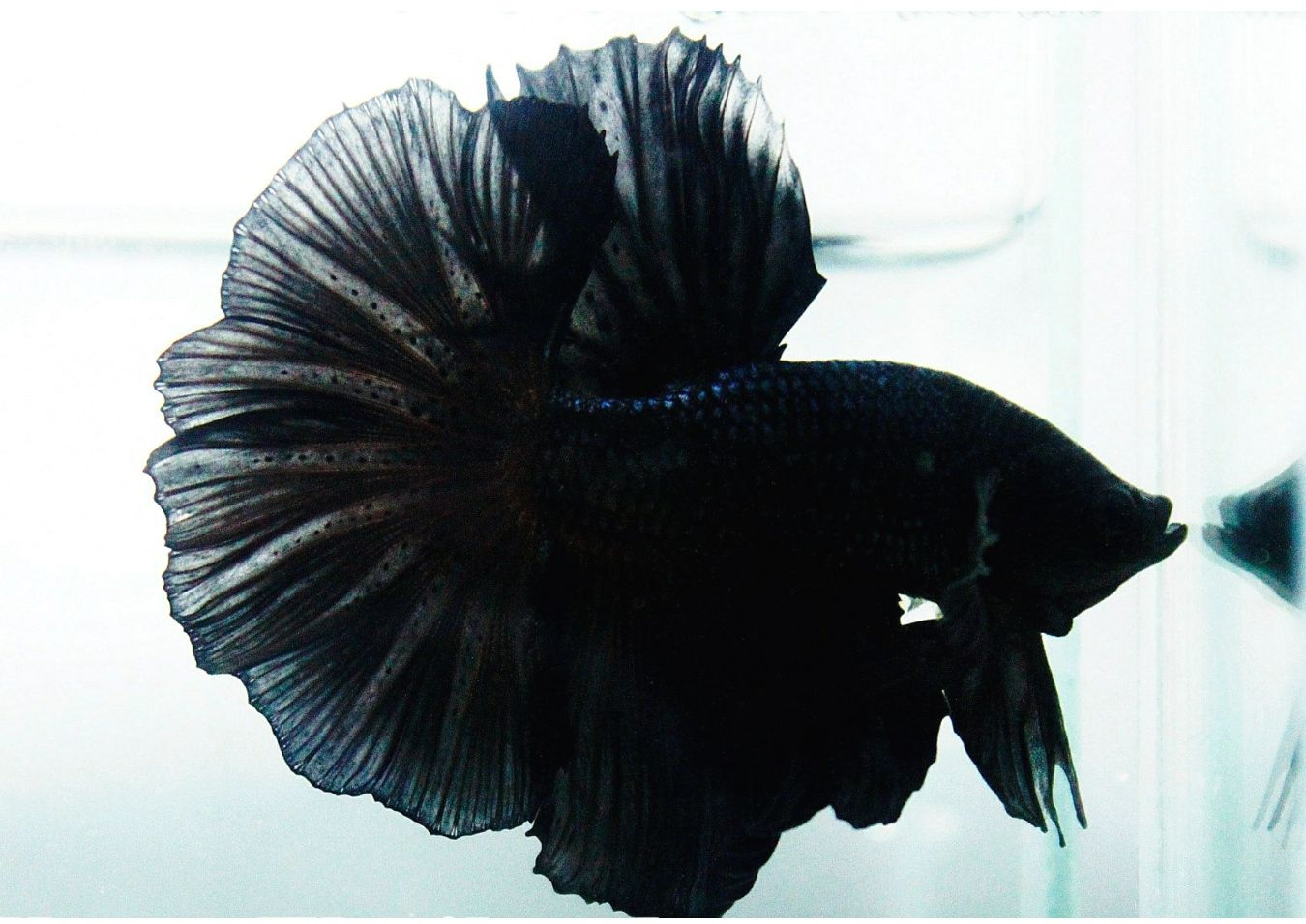 Instantly make your betta fish happier with this easy to follow betta fish care guide Learn about water food and habitat requirements