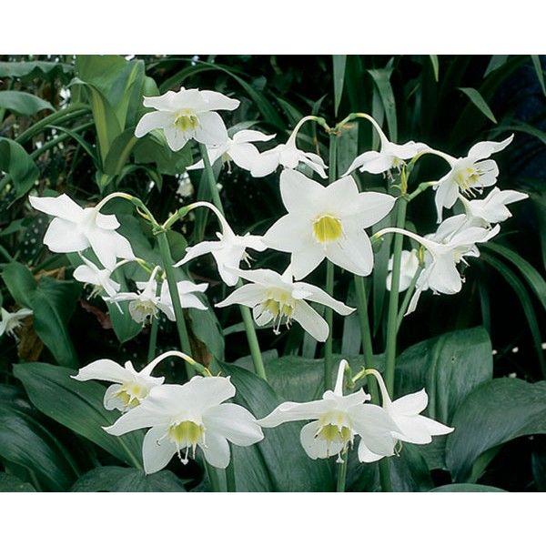 Amazon Lily Christine Eucharis Amazonica Fragrant Plants