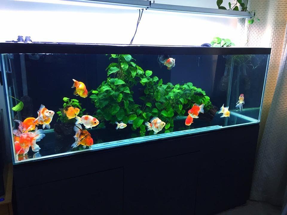 Goldfish Planted Aquarium Goldfish Aquarium Fish Aquarium