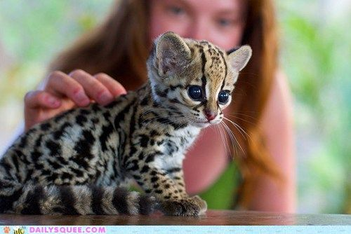 this makes me want a baby ocelot!
