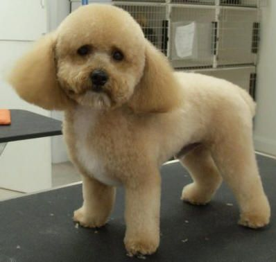 Modg boca grooming pictures doggie hair cuts pinterest modg boca grooming pictures poodle groomingdog groominghaircut winobraniefo Image collections
