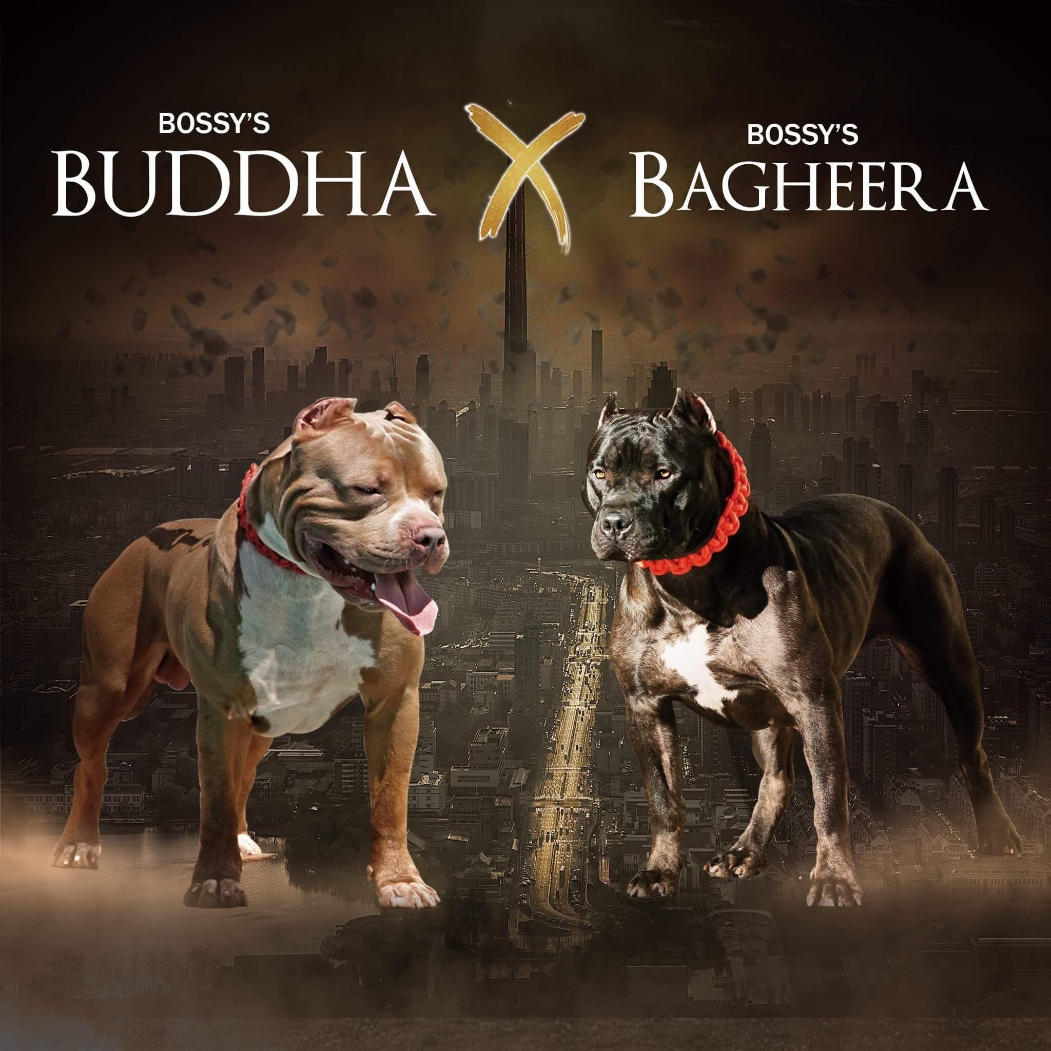 Buddha X Bagheera Pitbull Puppies Blue Pitbulls For Sale Kennel